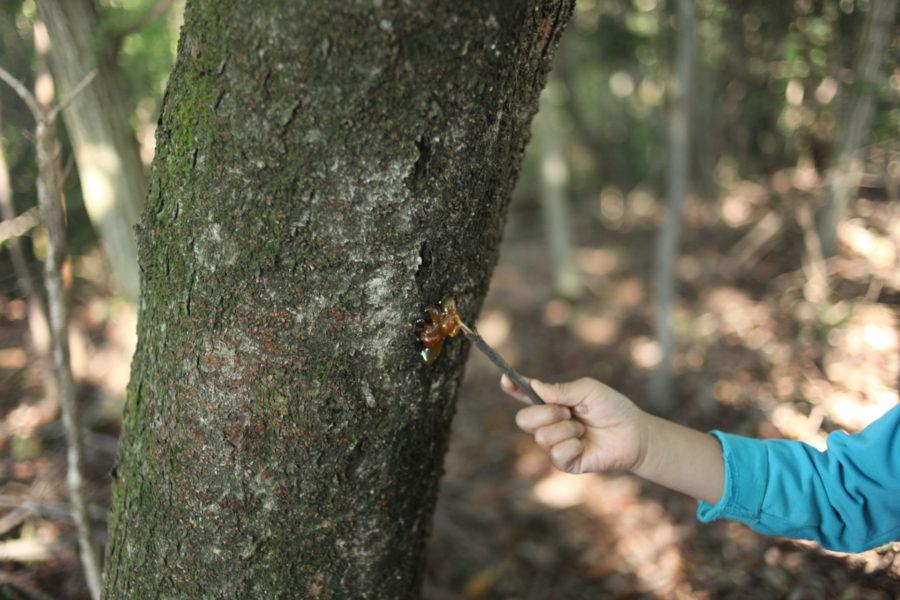 樹液を発見