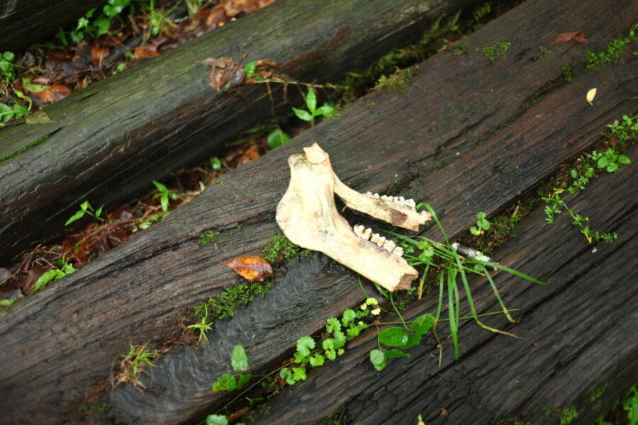 イノシシの骨