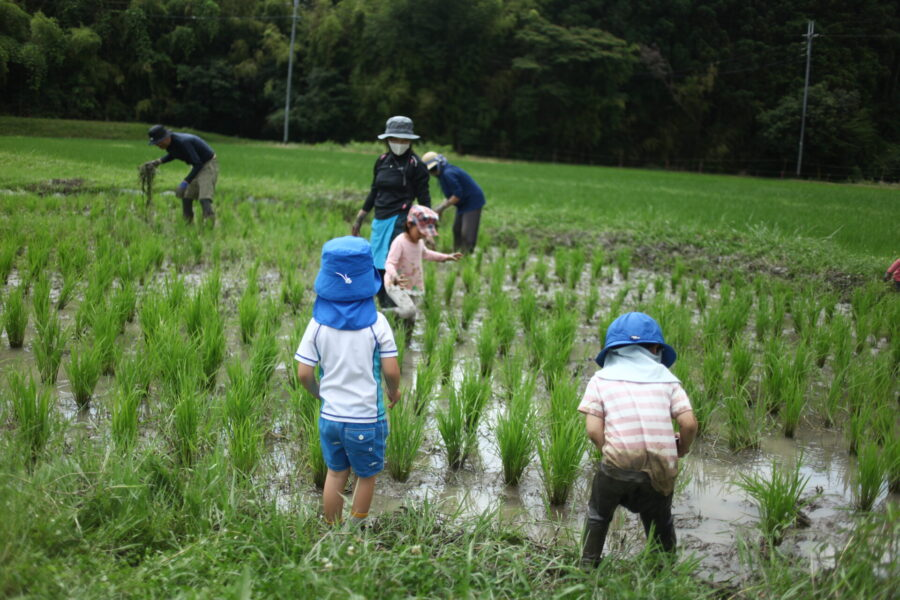 田んぼで草抜き